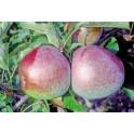 Bon Chretien d'Hiver Pear